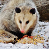 A young opossum enjoying some winter bird seed.<br /> <br /> Photographer's Name: Sharon Markle<br /> Photographer's City and State: Markleville, Ind.