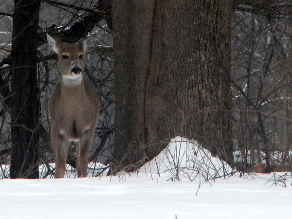 Deer at Mounds Park, taken Feb 16.<br /> <br /> Photographer's Name: Rita Drews<br /> Photographer's City and State: Anderson, Ind.