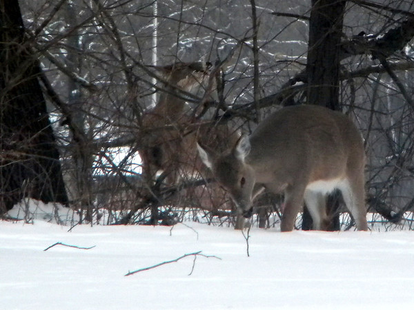Deer at Mounds Park feeding on the bark and twigs, Feb. 16.<br /> <br /> Photographer's Name: Rita Drews<br /> Photographer's City and State: Anderson, Ind.