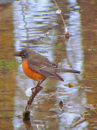 A robin looking for dry ground.<br /> <br /> Photographer's Name: Brian Fox<br /> Photographer's City and State: Anderson, Ind.
