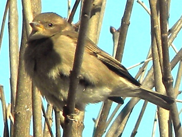 This female house sparrow is enjoying the sun at the Harter House patio.<br /> <br /> Photographer's Name: Rita Drews<br /> Photographer's City and State: Anderson, Ind.