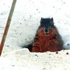 This guy dug a tunnel under our bird feeders. Smart guy, he is fed well! Taken at Harter House<br /> <br /> Photographer's Name: Rita Drews<br /> Photographer's City and State: Anderson, Ind.