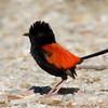 Red-backed Wren