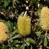 Banksia integrifolia, Coast Banksia, Federation Walk Coastal Reserve