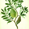 Coast banksia (Banksia integrifolia). The Endeavour botanical illustrations. Finished Drawing.