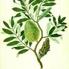Coast banksia (Banksia integrifolia). The Endeavour botanical illustrations. Finished Drawing.