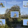 Birds feeding on Coast Banskia (Banksia integrifolia)