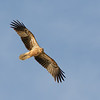 Whistling Kite (Haliastur sphenurus), The Spit, Gold Coast. Qld.