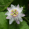 Stinking passion flower (Passiflora foetida)