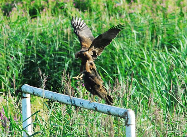 Fledgling Marsh Harriers on site.  Photo by Chris Horgan.