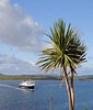 The palm trees attest to the mild climate Barra enjoys courtesy of the Gulf Stream, Clansman approaches the ferry ramp.