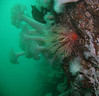 Upper wall section, Sares Head. White Plumose anemones and single Crimson anemone