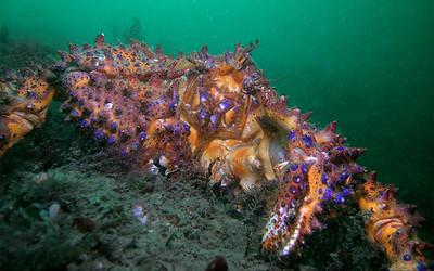 Puget Sound King Crab ( Lopholithodes mandtii )