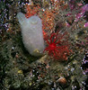 Glassy tunicate and Creeping Pedal sea cucumber