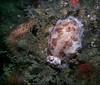 Freckled dorid, Sares Head, October 5, 2008