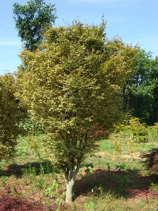 Acer palmatum 'Butterfly'  Leave emerge green with pink margines, mature to green with cream colored margines.  Upright, vase shaped.  12-15' height x 6-8' width
