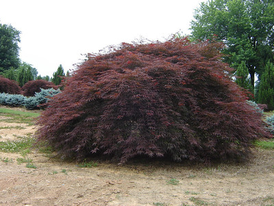 Acer palmatum dissectum 'Crimson Queen'  Red weeping maple.  Red fall color.  8-10' Height with 12'+ Width at maturity.