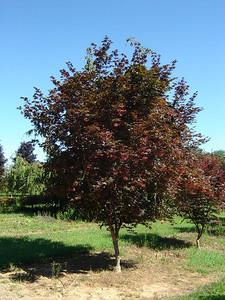 Acer palmatum 'Bloodgood' 10-12'