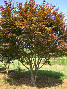 Acer palmatum 'Bloodgood'  15-20' Mature height