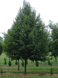 Tilia cordata 'Greenspire'  Littleleaf Linden Yellow fall color.  40-50' height x 30' width at maturity.
