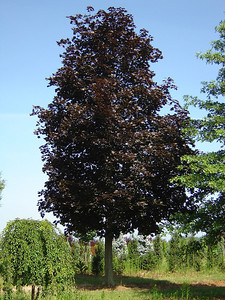 Acer platanoides 'Crimson King'  Norway Maple 40-50' mature height