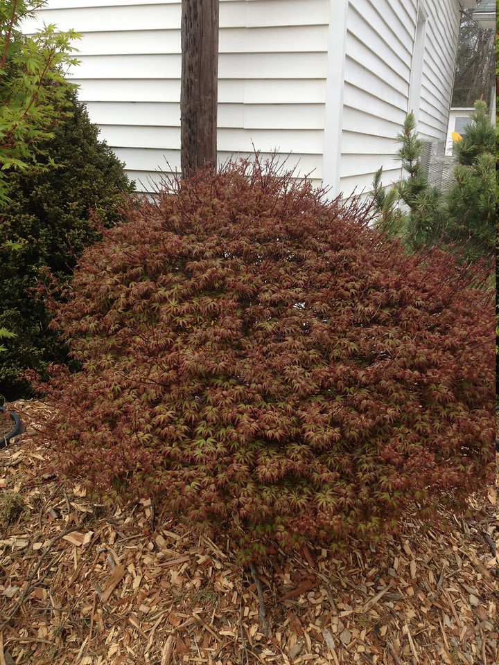 Acer palmatum 'Kiyohime' 4-5'  Spring new growth color
