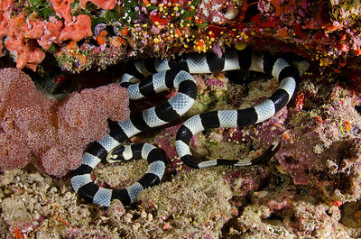 A large sea snake.  Very beautiful, but extremely deadly.  If you are bit, you've only got a few minutes.  Fortunately, they are very docile and have a small mouth and fangs.  Not much of a hazard to divers unless you mess with them. (Jim Keller)