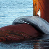 Dead fin whale draped over the bulbous bow of a container ship in the Port of Long Beach on Saturday, October 18, 2008. (Photo © Bernardo Alps/All rights reserved)