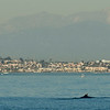 Number 2 of approximately seven fin whales seen approximately 2 km west of Rocky Point during whale watching trip aboard the Voyager out of Redondo Beach Marina, CA, January 18, 2013. 33 46 921 x 118 27 578. Photo © Bernardo Alps/PHOTOCETUS. All rights reserved.