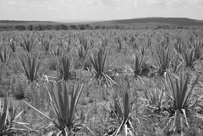 agave fields at the zermano hacienda