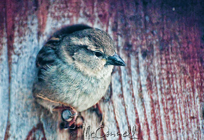 Sparrow at Home