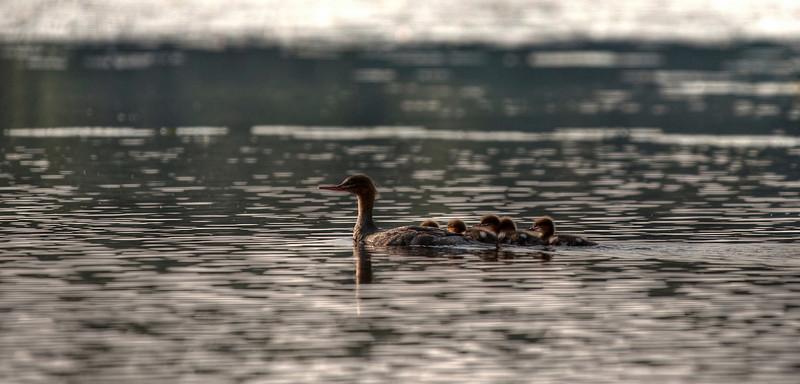 Ducks, Finland.