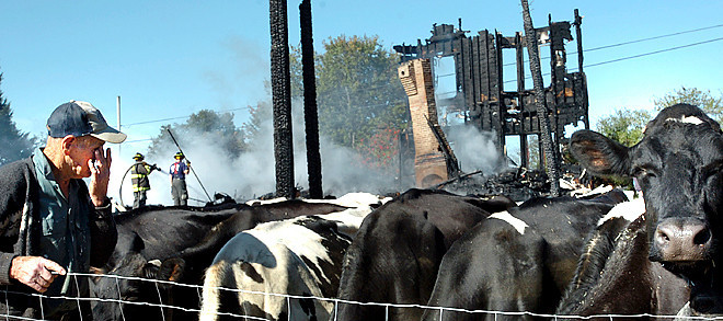 One of the hired hands at Graceland Dairy Farms on the Penley Corner Road in Auburn move the cows so they can be milked.  Despite everything else that needs to be done following a catastrophic fire, the cows still need to be milked.