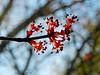 Maple Flowers, The Yard, Kennebunk ME