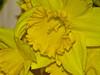 Flash tele-macro tests. Daffodils