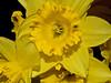 Flash macro test. Daffodils.