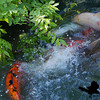 UNM Duck Pond. Koi Breeding