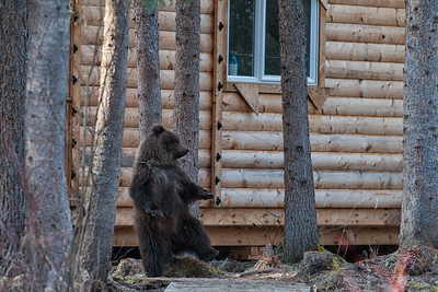 A Grizzly Bear cub rubbing its back against a tree, only a few feet away from the cabins at Bear Cave Mountain.