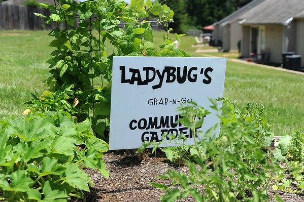 The Ladybug Community Garden has vagetables and fruit growing, such as squash and watermelon.  (Victor Texcucano/Staff)