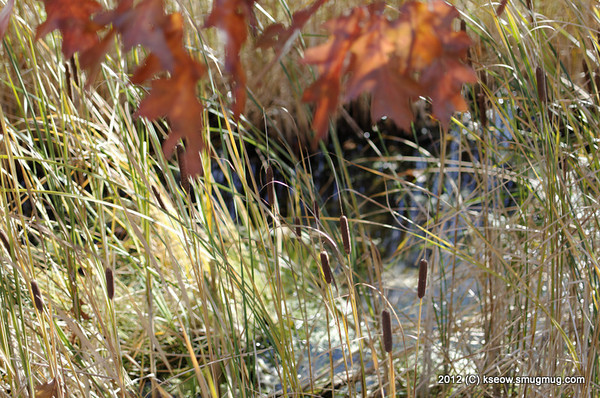 Reeds along the pathway on Fish Hatchery Road.
