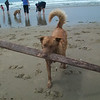 This dog went into the ocean to fetch this stick (well, a really BIG stick)