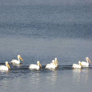 As quickly as they came, the pelicans decided to try a different section of #LakeLoveland