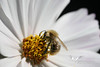 October 2006. One of the very first pictures with my new EOS 5D. A bee in our garden.