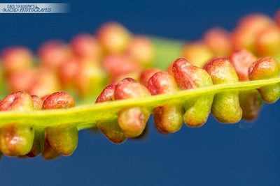 Gum Leaf Gall