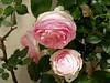 Rose Pierre Ronsard, AKA Eden