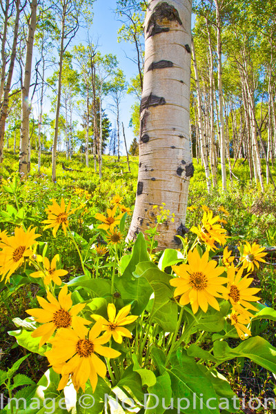 Aspen and Arrowleaf Balsamroot
