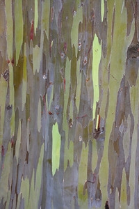 PAINTED EUCALYPTUS