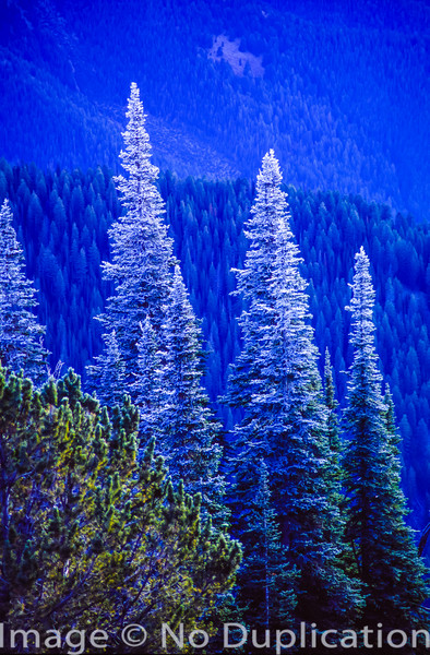 Frosted trees in the Boulder Mountains, Idaho