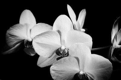 Orchid B&W