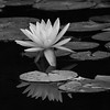 White Water Lily 2